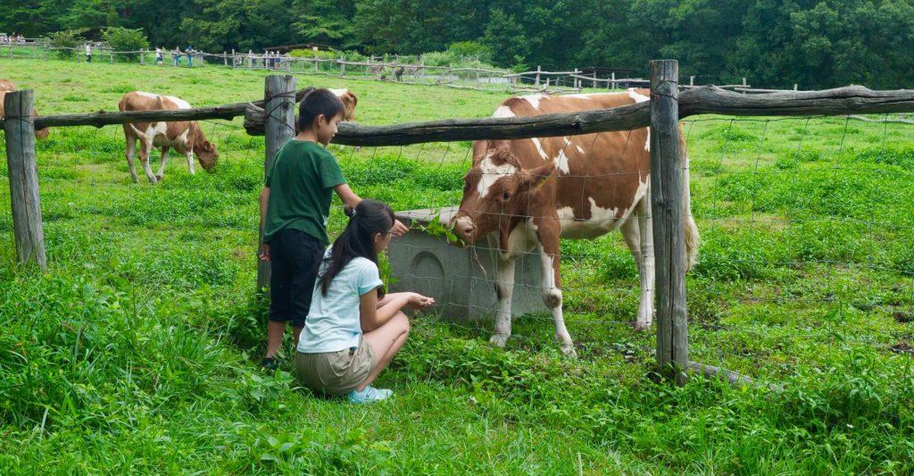 放し飼いの牛と遊ぶ