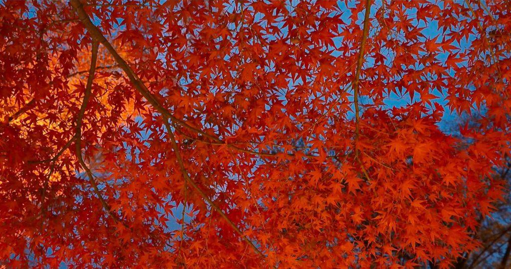 空を埋め尽くすような見事な紅葉