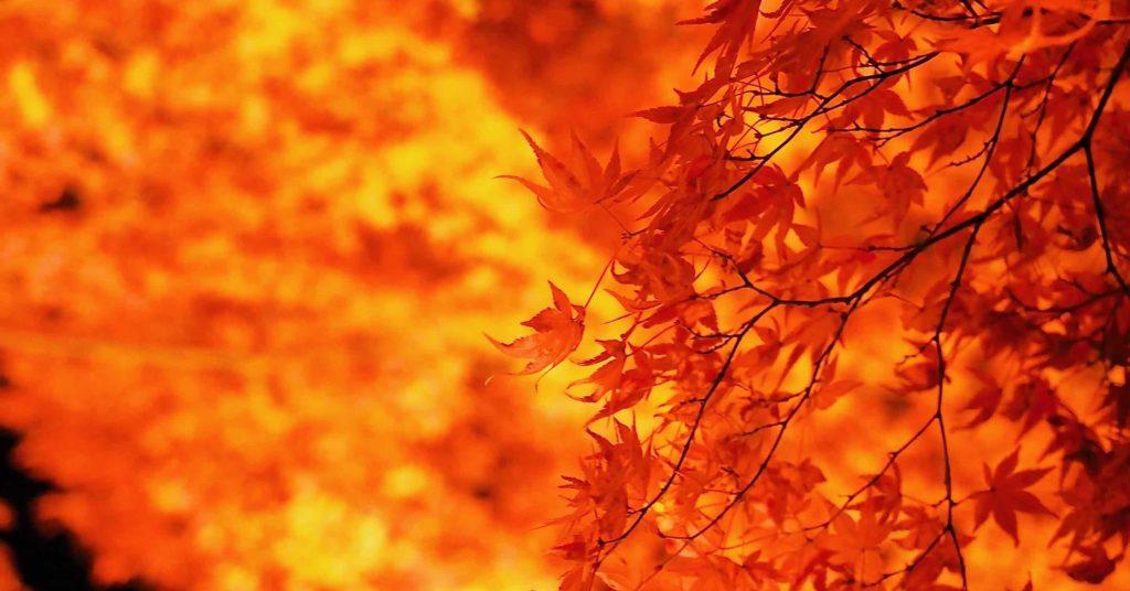 さらに燃える紅葉ライトアップ