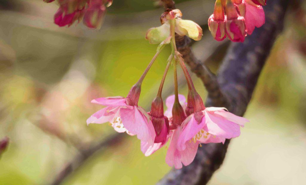 早咲きの桜 F値って何だ?