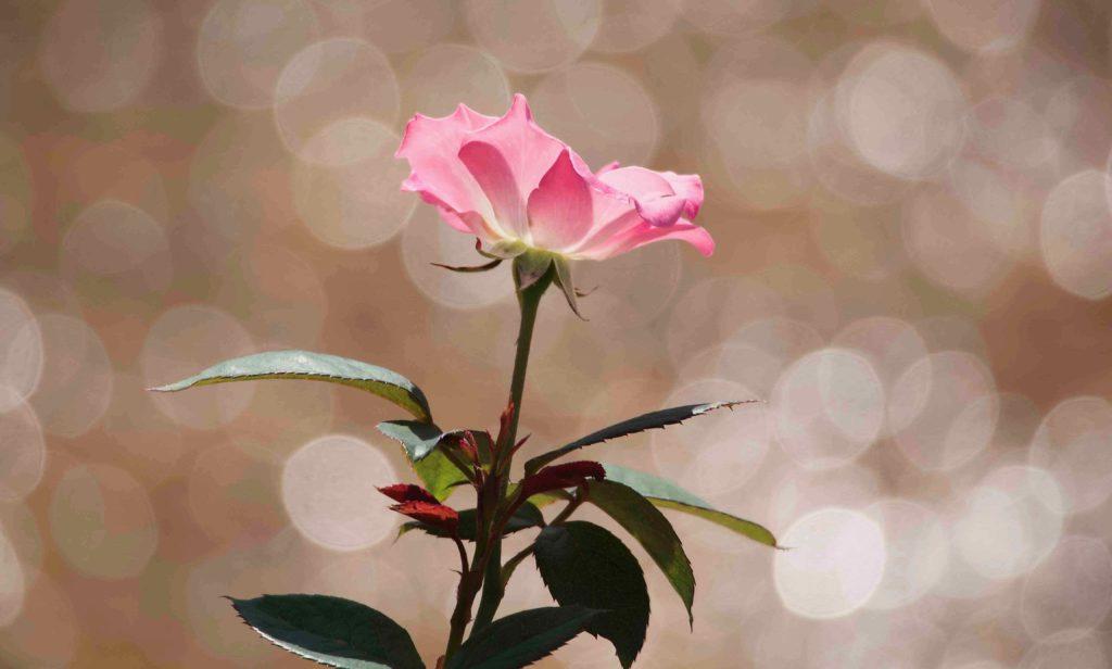 逆光撮影のポイント 花と玉ボケ