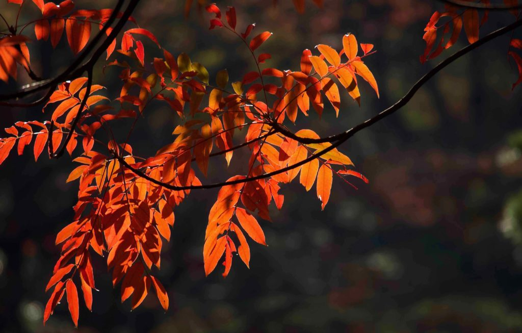 逆光で紅葉を撮る