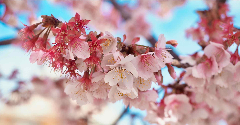 日本一早く咲く熱海桜