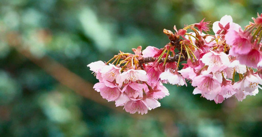熱海桜と糸川