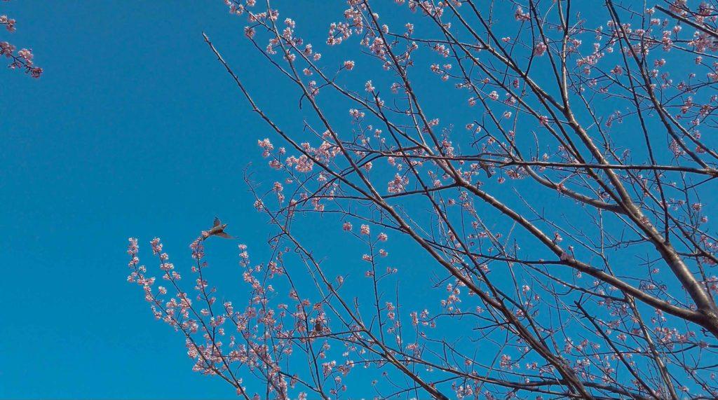 青空とマッチする濃いピンクの花びら