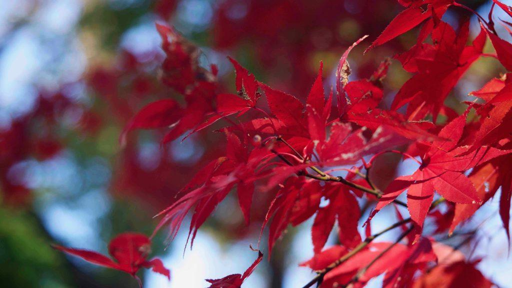 本土寺の受付の前で真っ赤な紅葉を見つけた