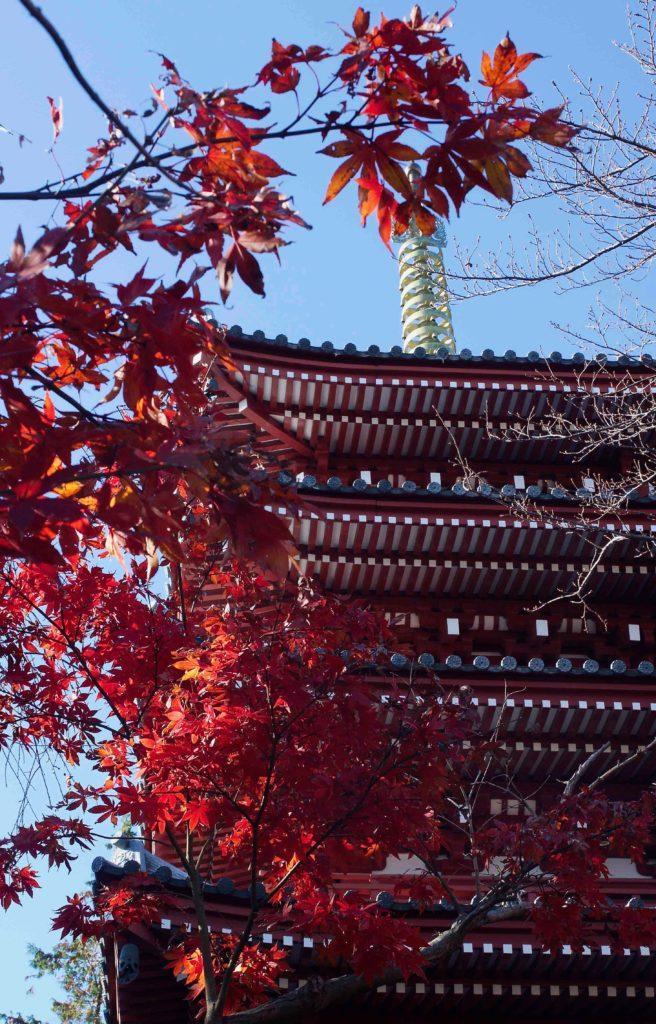 本土寺 五重塔と紅葉