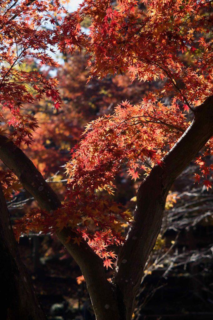 本土寺の本堂までの紅葉を楽しむ