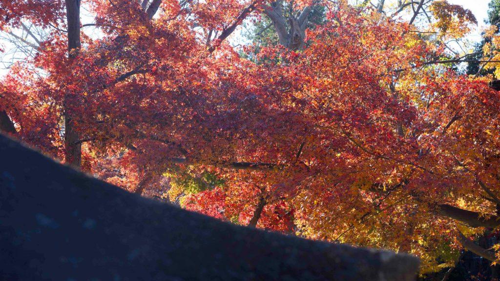 本土寺の本堂近くの紅葉