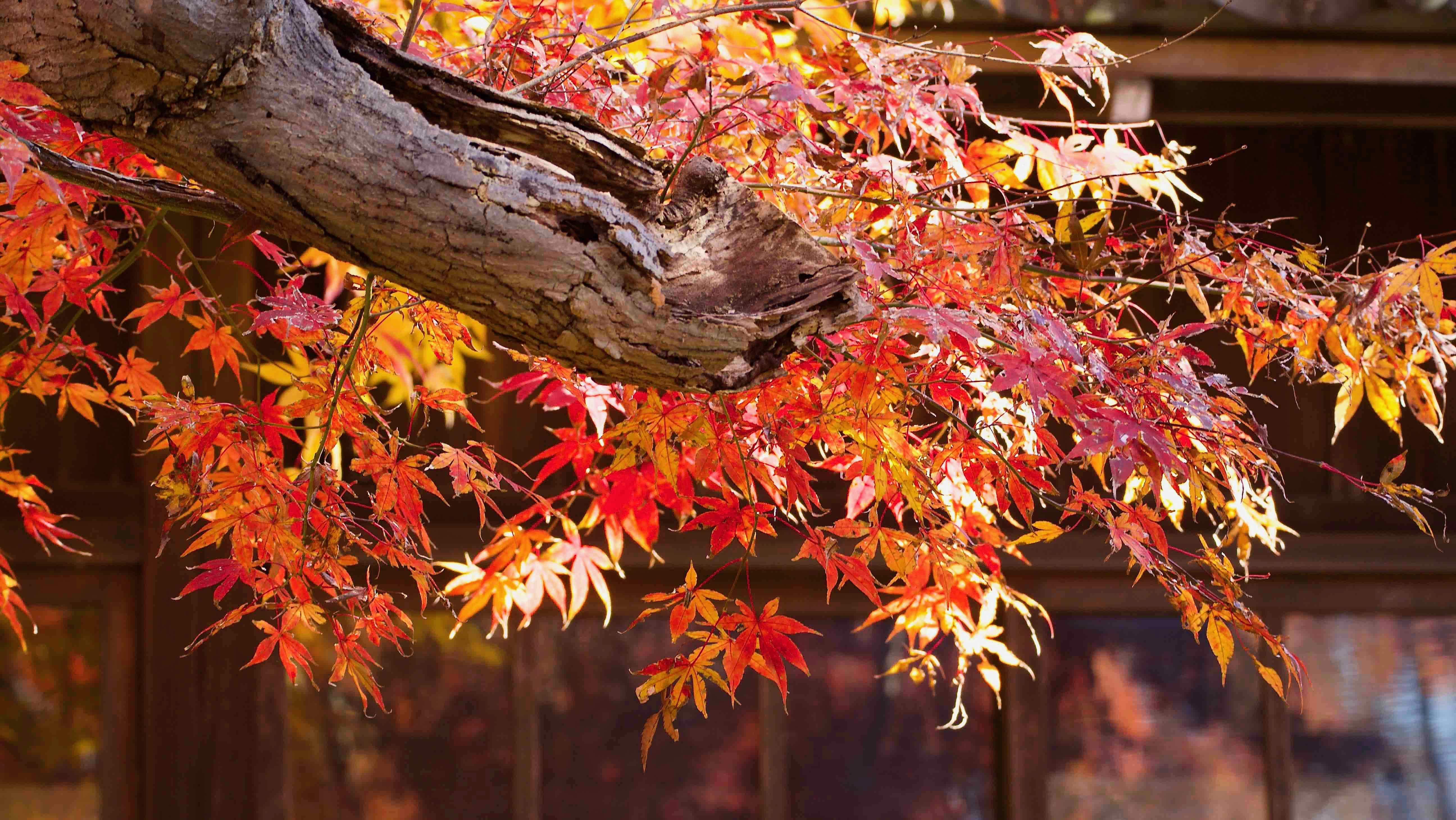 本土寺 五重塔と本堂の紅葉を巡る