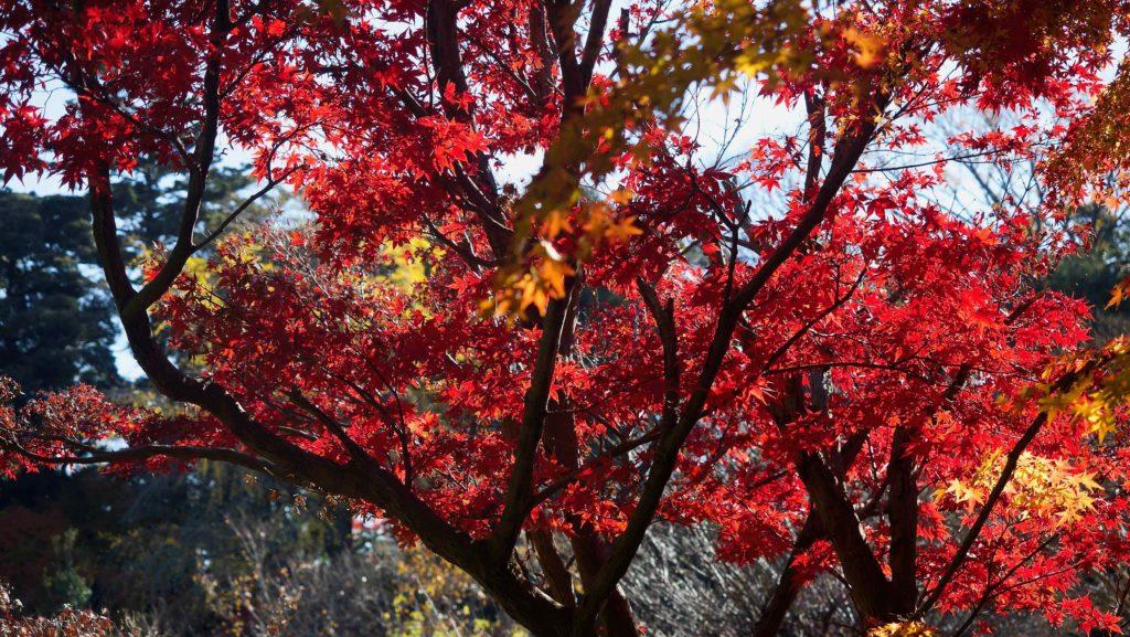 本土寺 竹林近くの紅葉