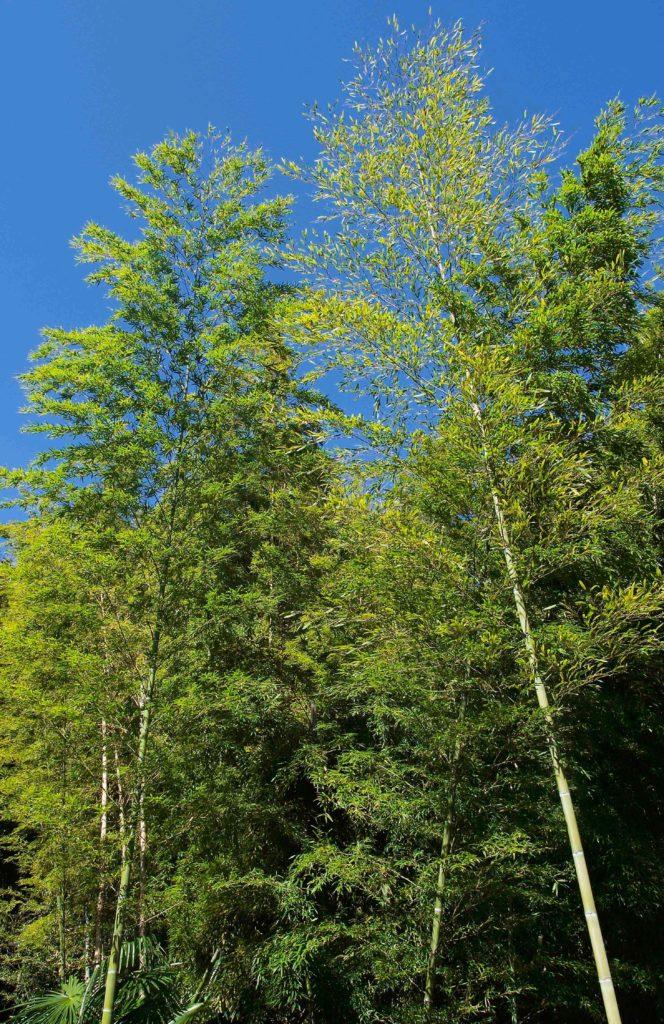 本土寺の竹林
