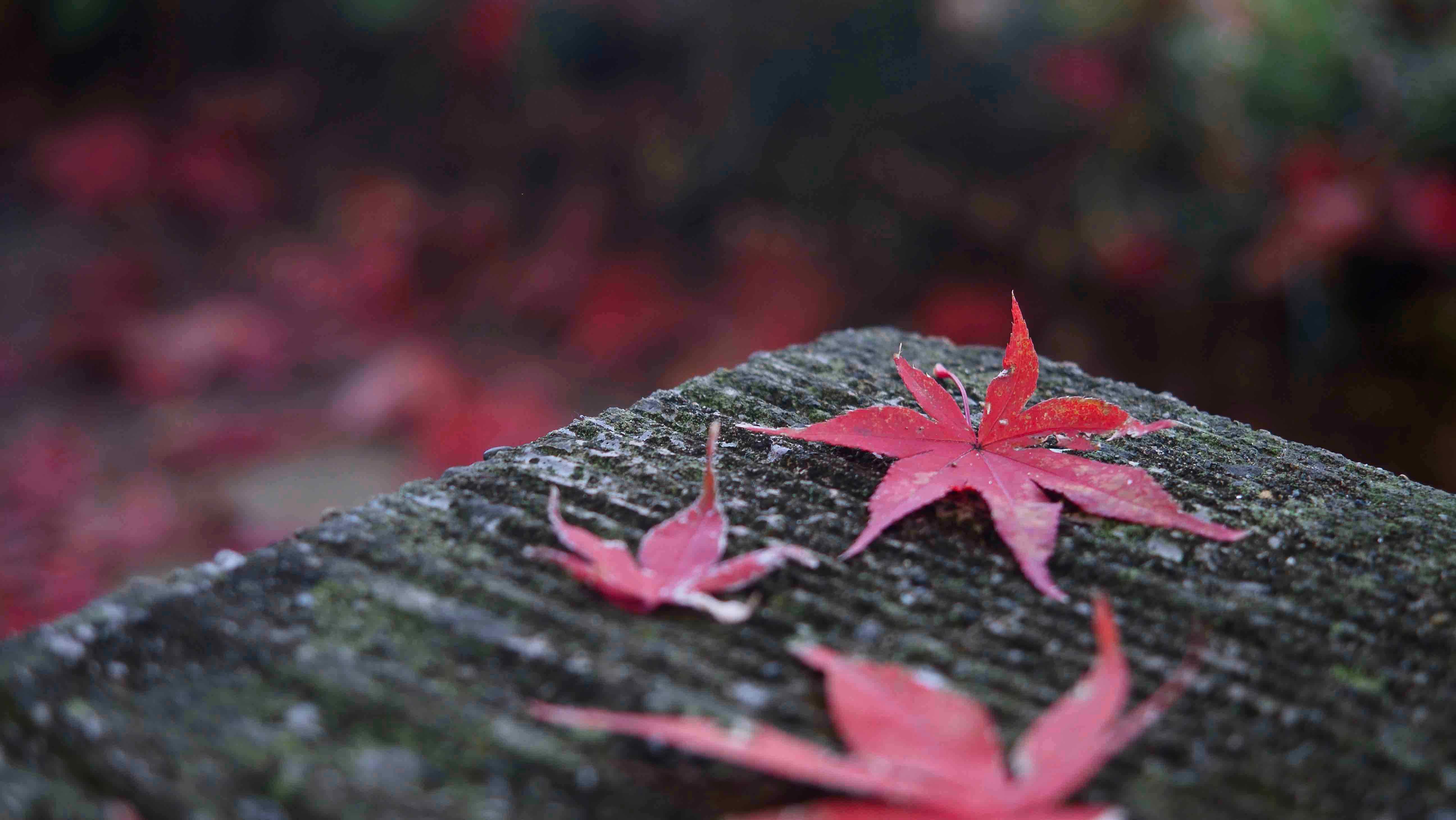 本土寺の紅葉 竹林あたりを散策