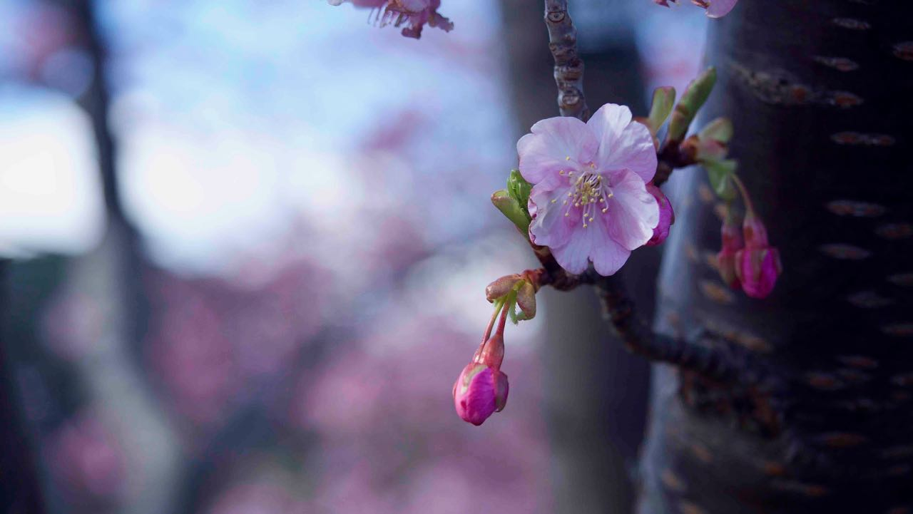 河津桜を見に行って来ました