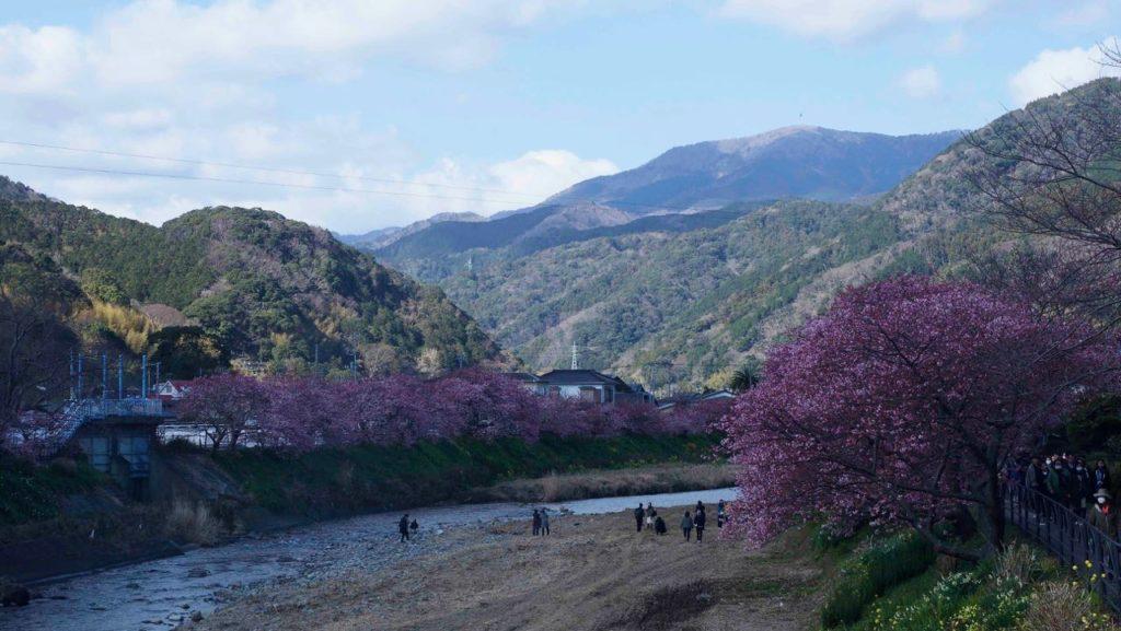 山並みと河津桜のコラボ
