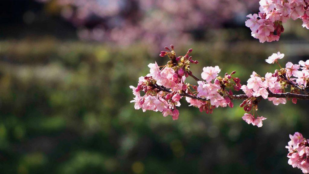 河津桜と緑
