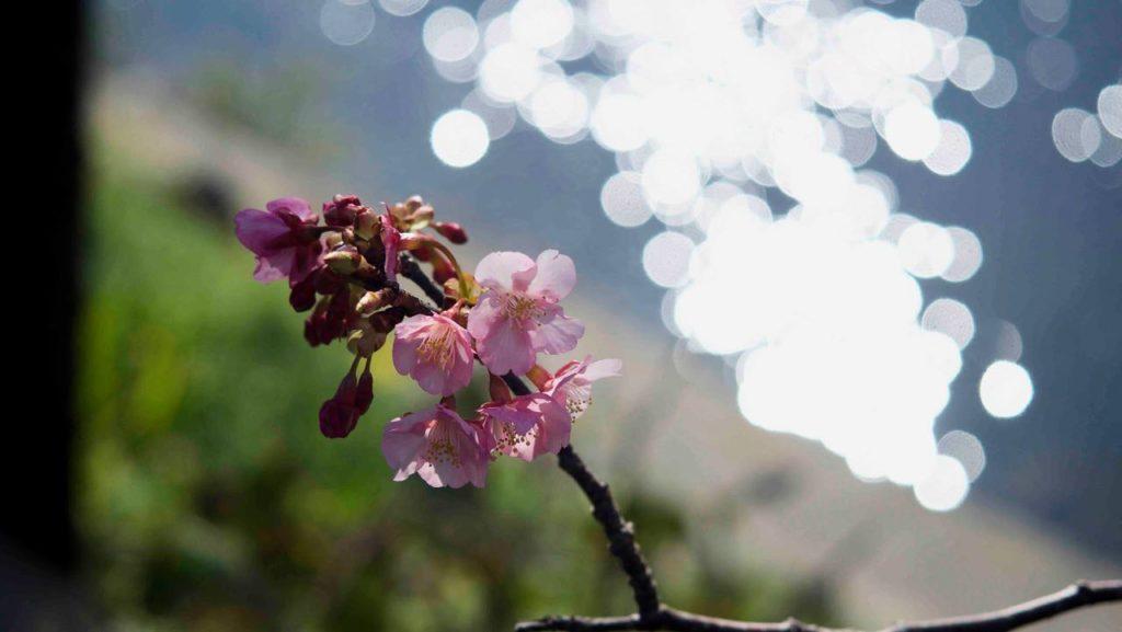 川と河津桜のツーショット