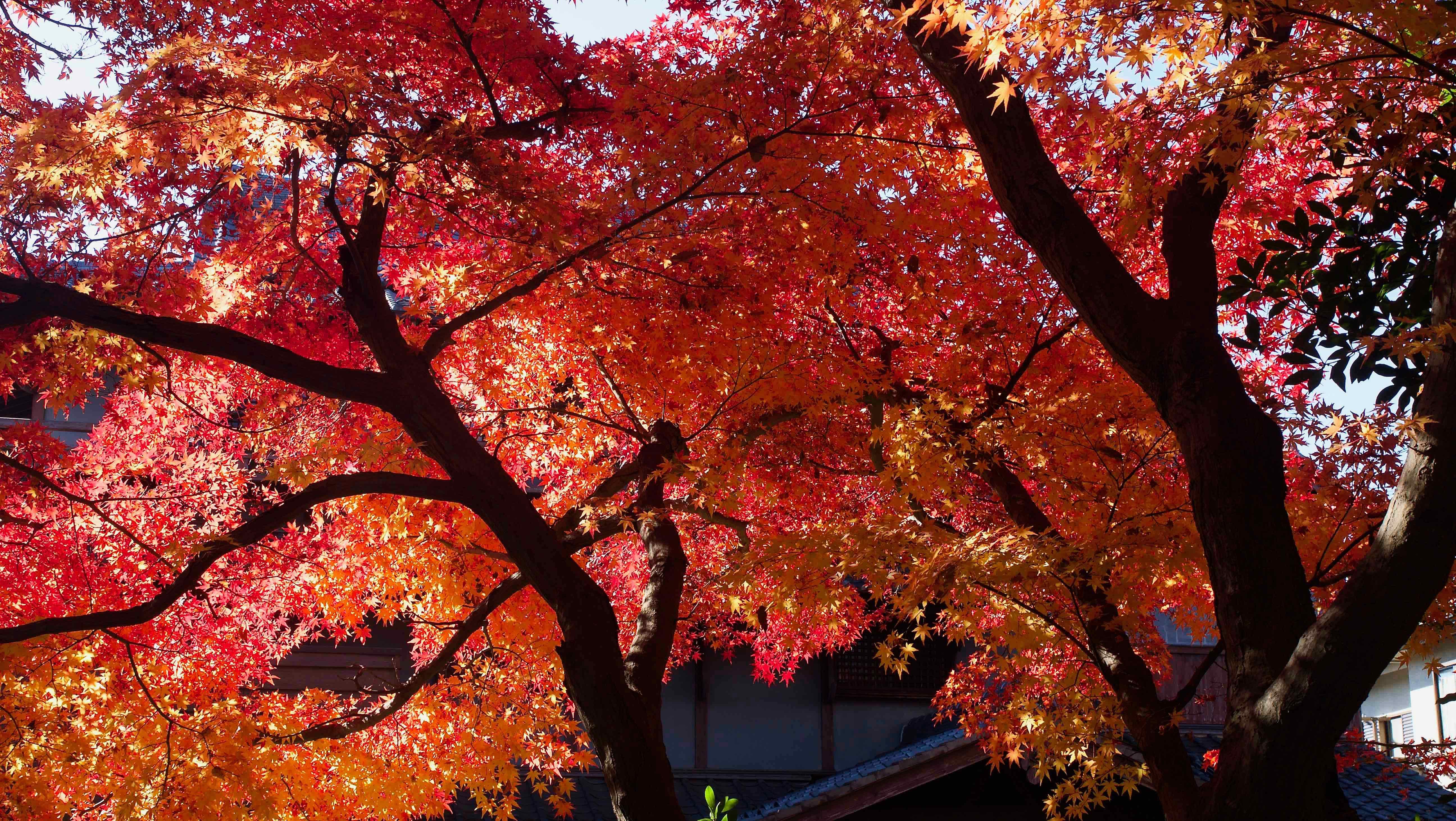 本土寺の紅葉エンディング