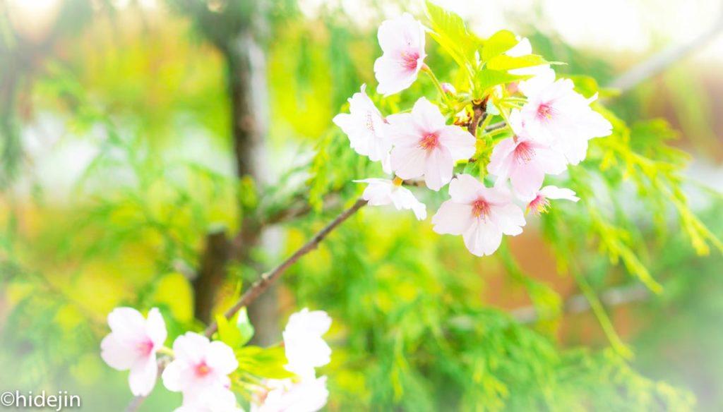 日比谷公園の桜