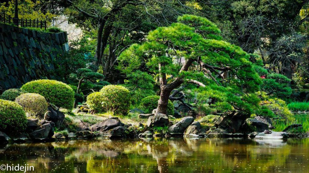 日比谷公園の松