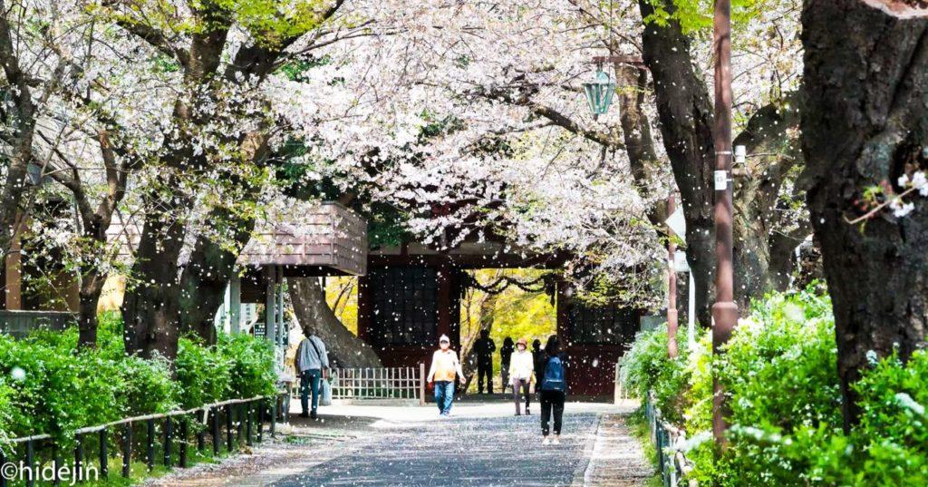 本土寺の仁王門と桜吹雪