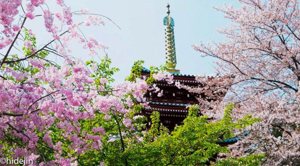 本土寺の五重塔と桜