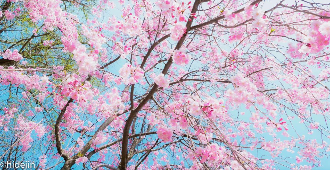本土寺の桜