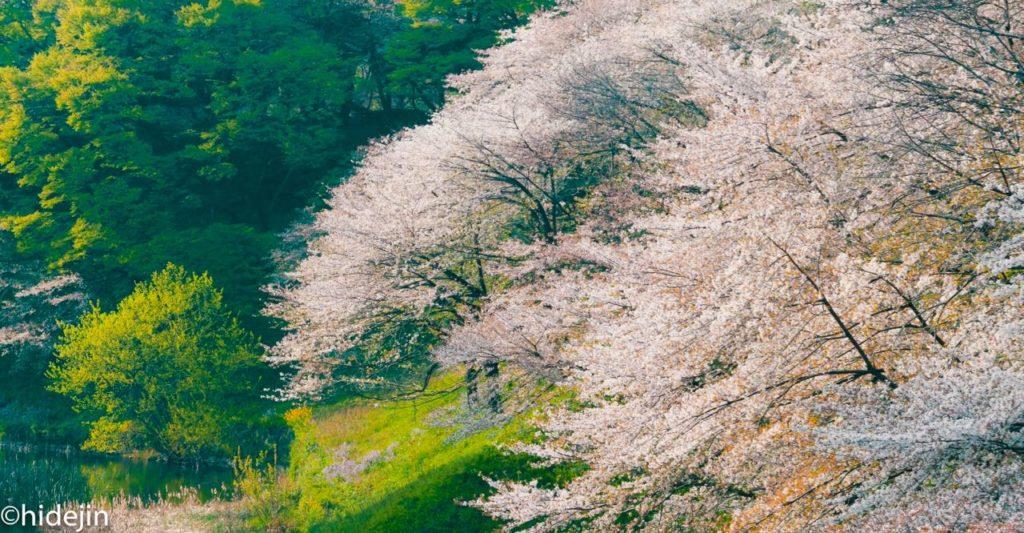 九段坂の桜