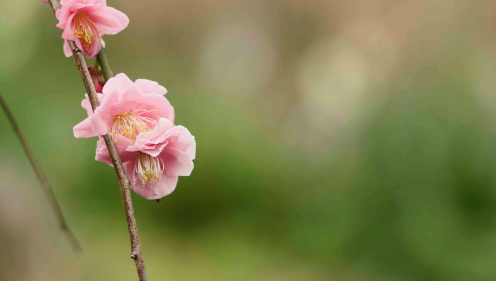 ピンクの可憐な梅の花