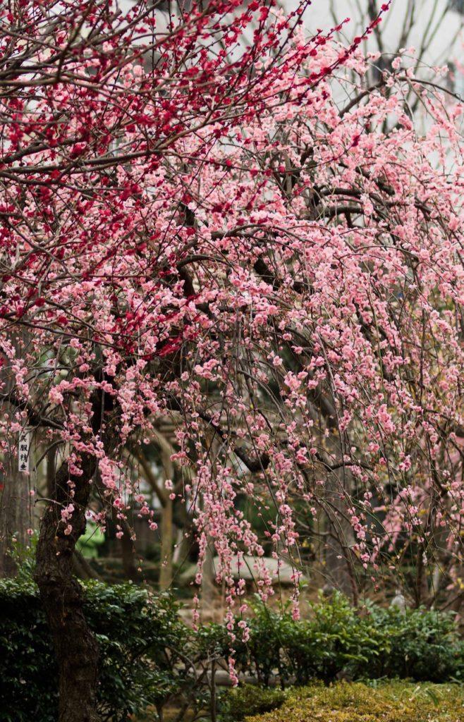 亀戸神社の枝垂れ梅