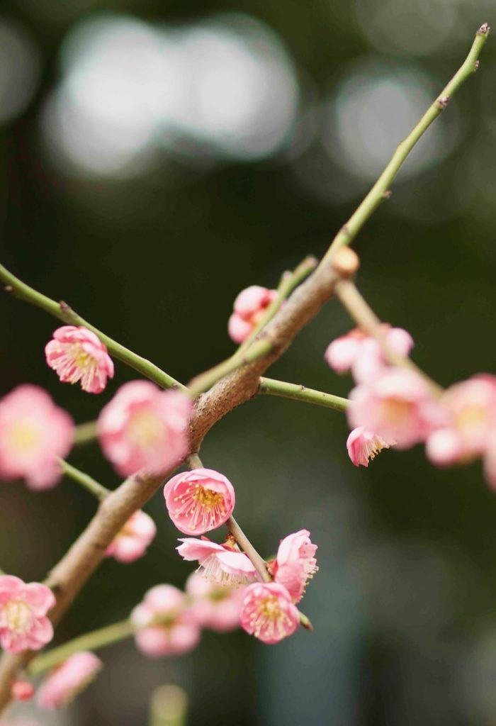 亀戸神社のピンクの梅