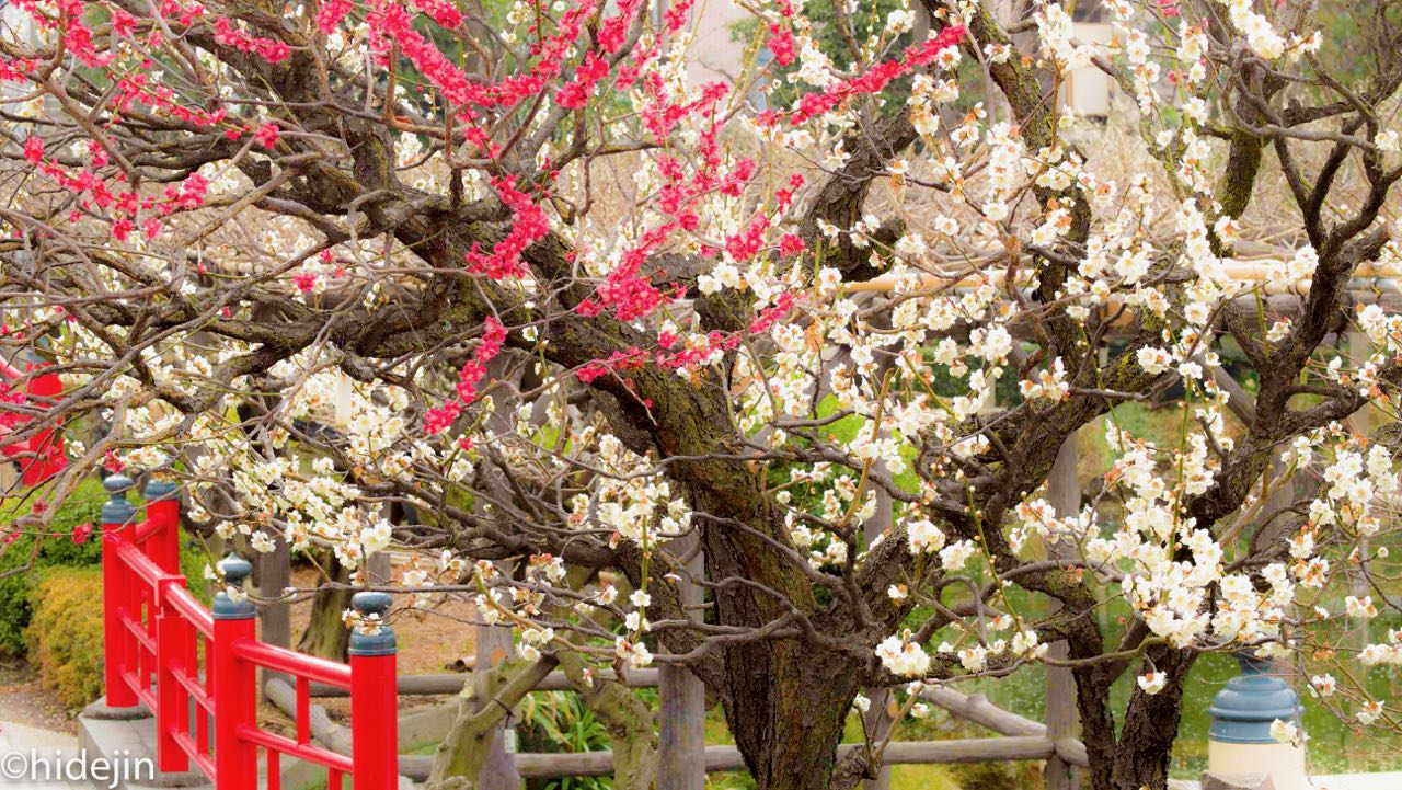 亀戸天神の梅の花の香りに誘われて