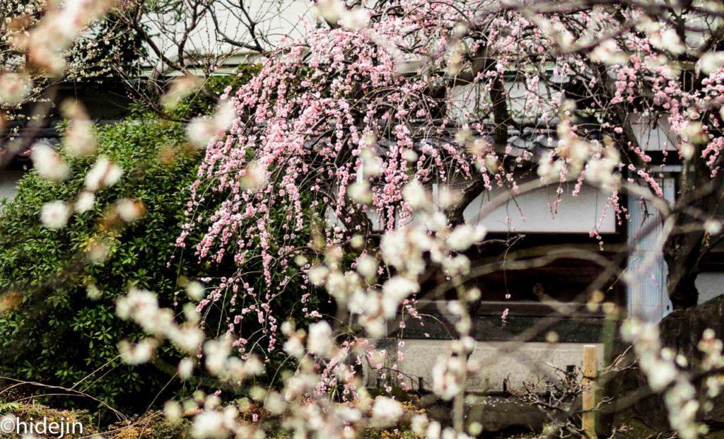 ピンクと白梅のコンビネーション