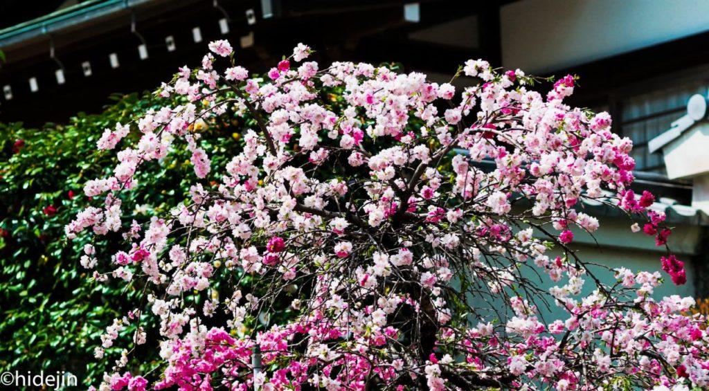 桃の花の登場