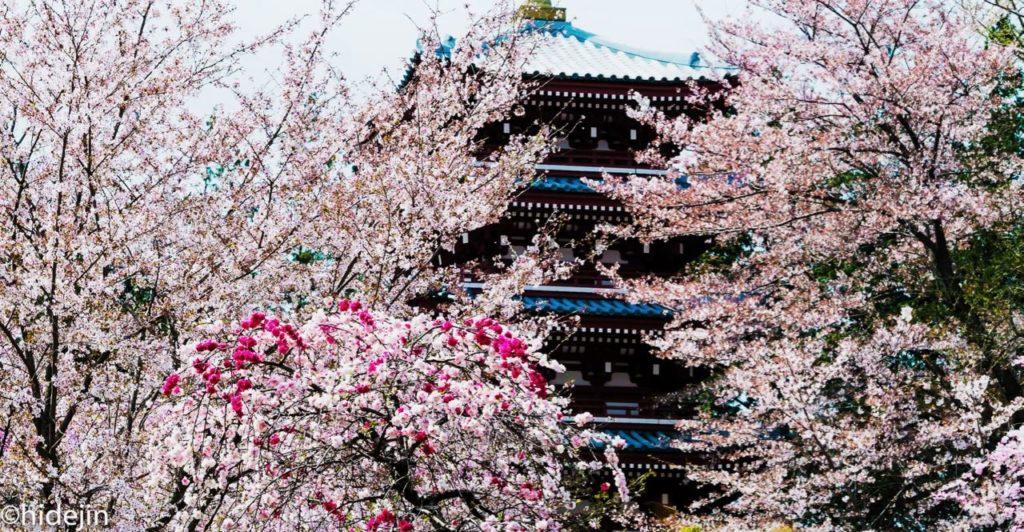 本土寺 五重塔と桜と桃