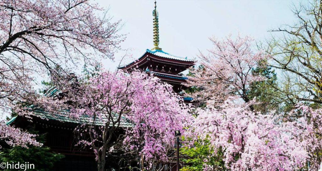 本土寺 再び五重塔と桜