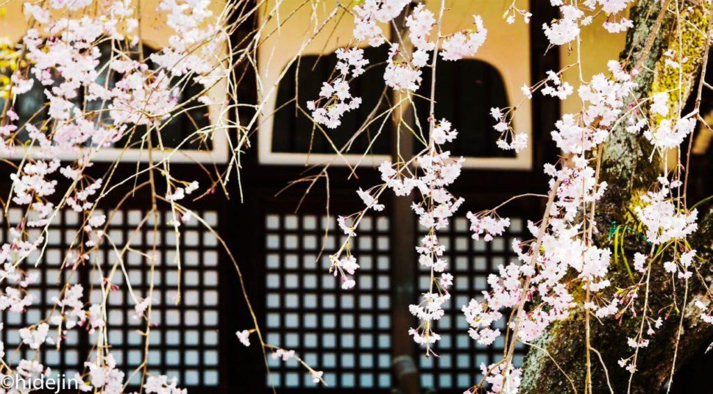 本土寺 像師堂と桜