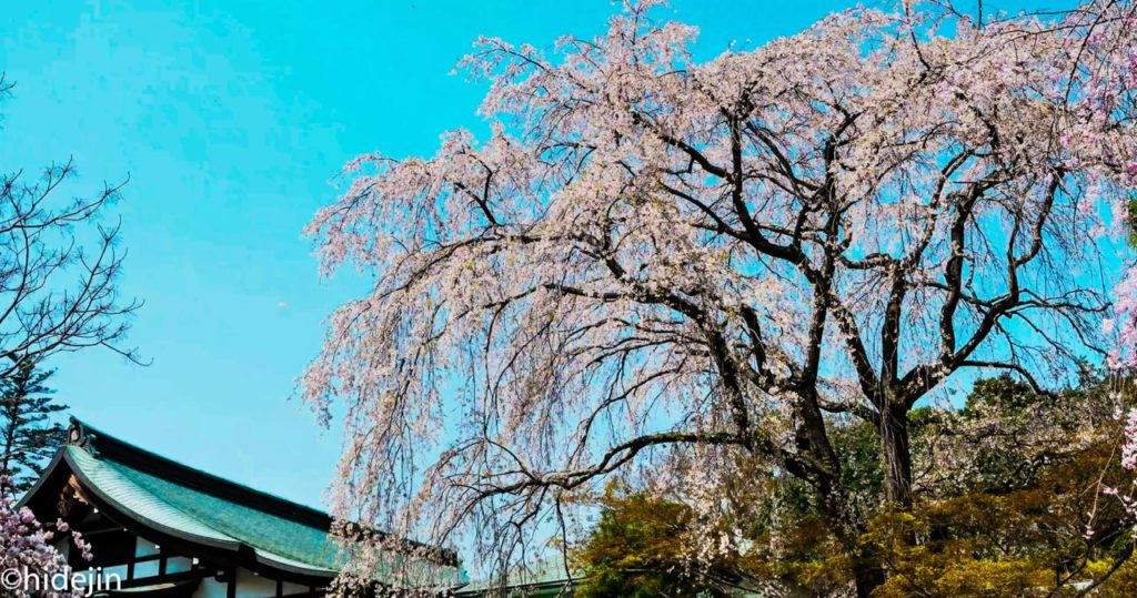 本土寺 開山堂と枝垂れ桜