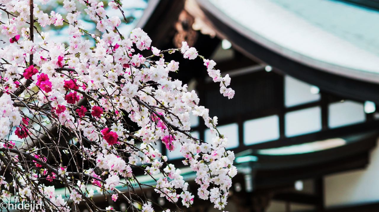 本土寺の桜と桃