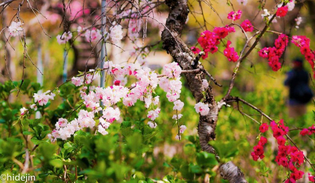 本土寺の桃の花