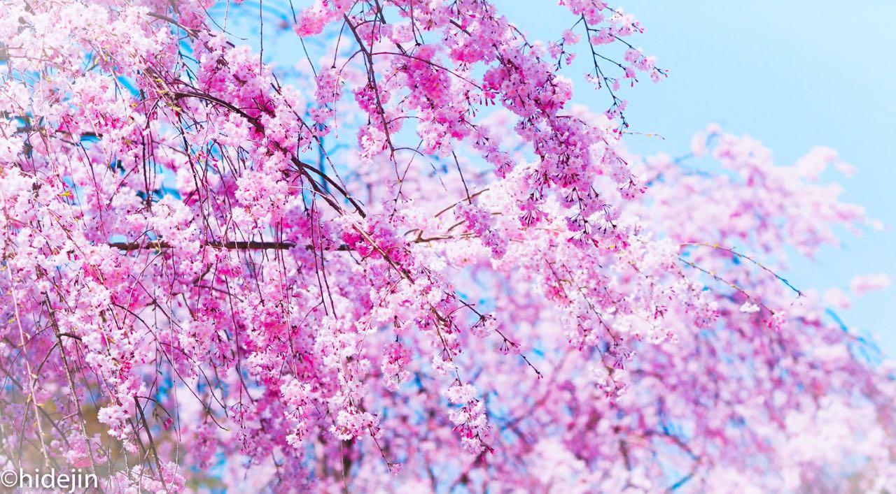 百花繚乱 花の寺 本土寺