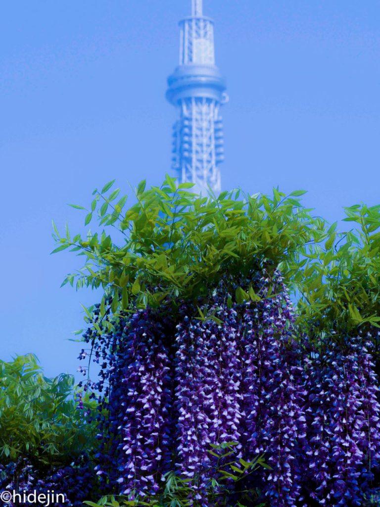 東京スカイツリーと藤の花