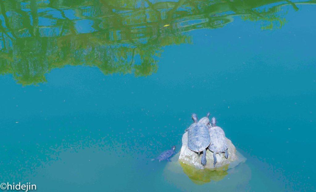 亀戸天神の池の亀