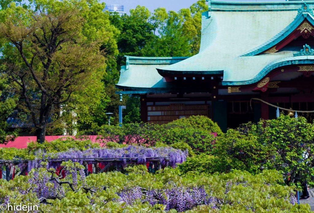 亀戸天神本堂と藤の花