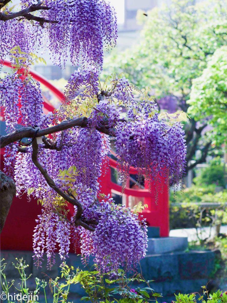 亀戸天神の太鼓橋と藤の花