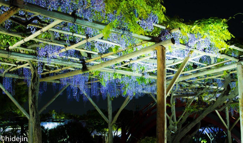 亀戸天神の藤ライトアップ