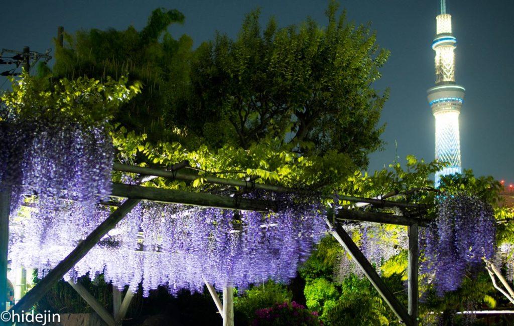 亀戸天神の藤ライトアップと東京スカイツリー