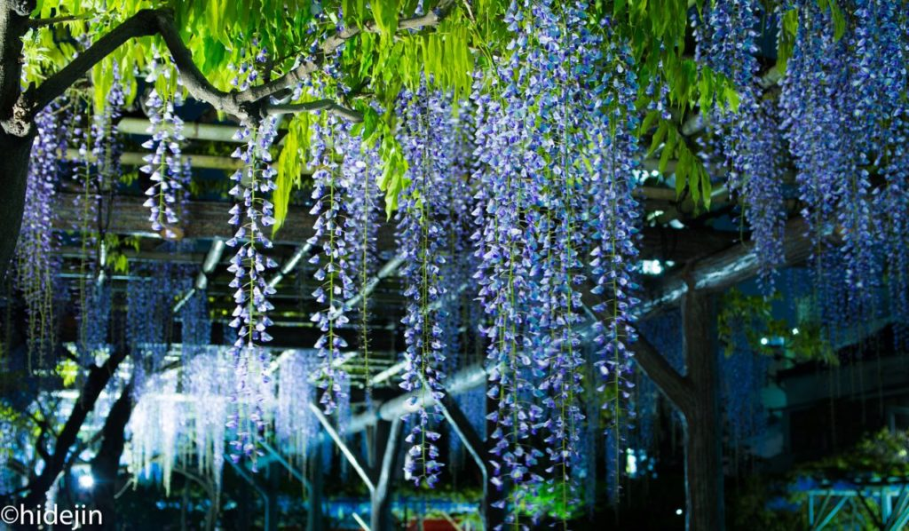 亀戸天神 藤のライトアップ