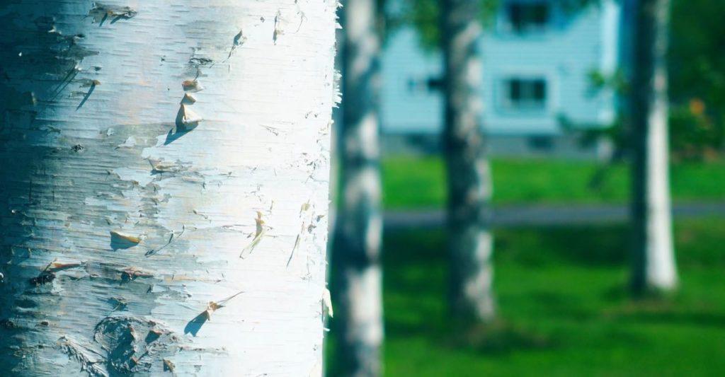 ニセコ 白樺の森