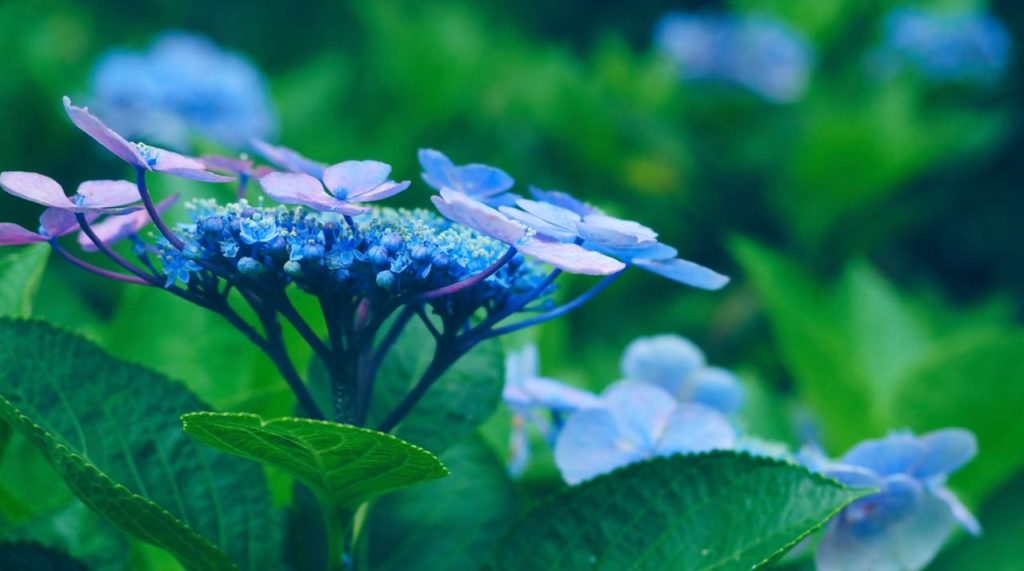 夏の見所はあじさい苑 藍姫